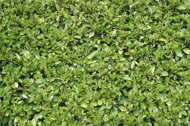 Download Privet Hedge stock image. Image of texture, detailed, hedge - 103351