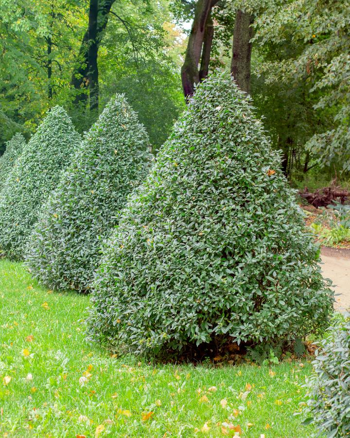 Free Privet Pyramid, European Privet Ligustrum Vulgare Oleaceae, Trimmed Bushes Natural Park Decoration Stock Images - 162306534