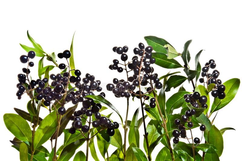 Privet twigs with black berries o white background royalty free stock image