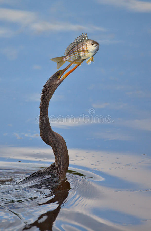 Download The Prize stock image. Image of nature, spear, wildlife - 25690117