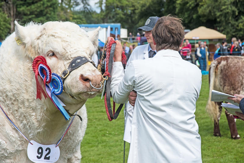 Prize winning bull closeup at Grantown royalty free stock images