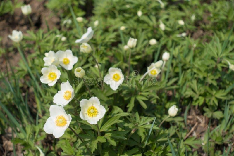 Prości biali kwiaty śnieżyczka anemon obraz royalty free