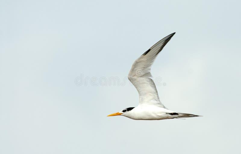 Proa de Bengaalse, Lesser Crested Tern, bengalensis dos esternos foto de stock royalty free