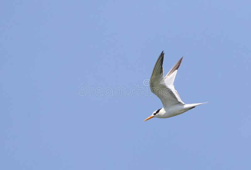 Proa de Bengaalse, Lesser Crested Tern, bengalensis de Thalasseus foto de stock