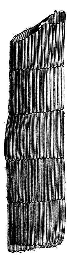 Proa do interior de uma amostra fóssil de caule de Calamodendron ilustração royalty free