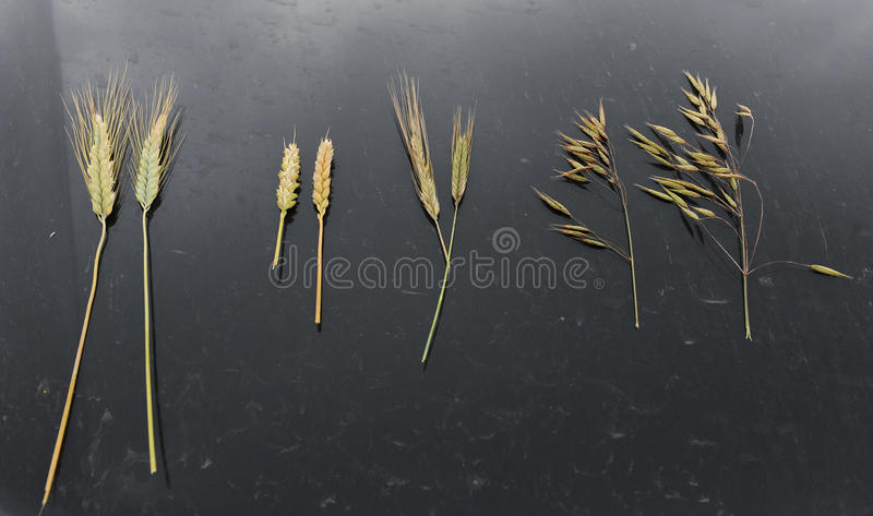 Proben von Getreideohren auf einem schwarzen Hintergrund Rye, Hafer, Weizen und Triticum stockfotos