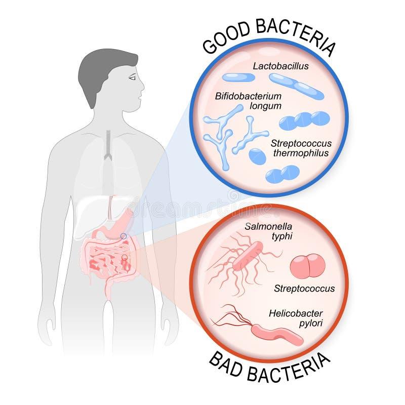 Probiotics Darmflora: Gute und schlechte Bakterien stock abbildung