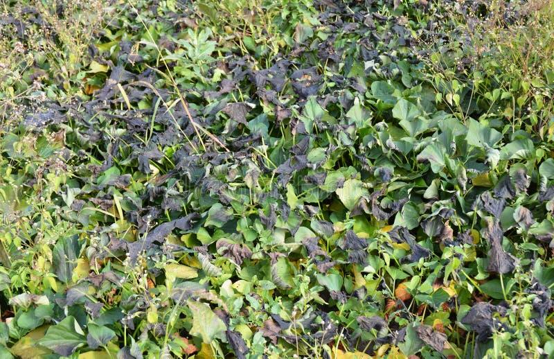 Problèmes croissants de patate douce Dommages de feuille Dommages de feuilles de patates douces par gel de nuit images stock