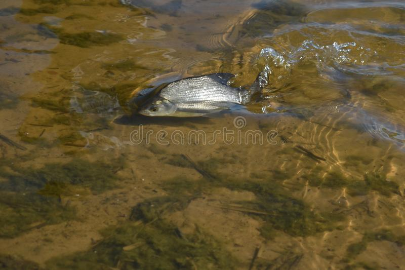 Sick fish in water near at the coast stock images