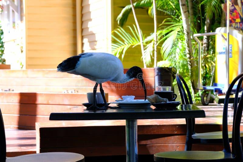 Problema de cena al aire libre del pájaro de la ciudad de Brisbane fotos de archivo libres de regalías