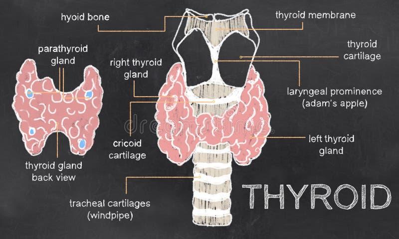 Problemas de la tiroides en la pizarra ilustración del vector