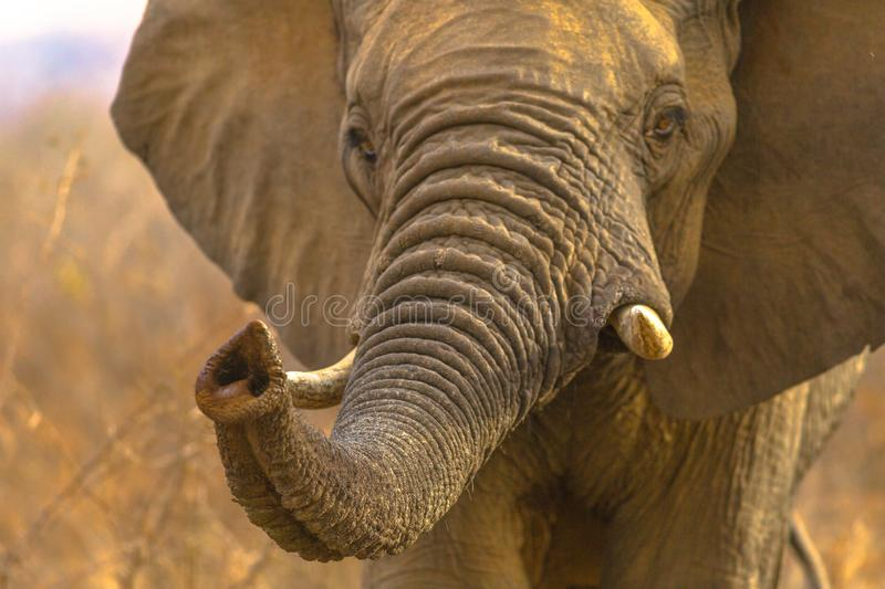 Face of African Elephant stock photography