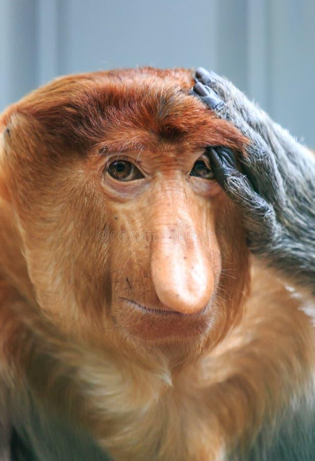 Proboscis-apenportret royalty-vrije stock foto