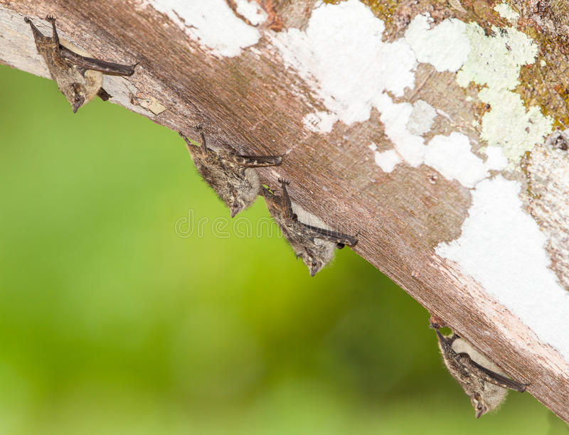 Proboscis Bats on a log. A small group of Proboscis Bats (Rhynchonycteris naso) has found a secure resting place under a fallen tree at the amazon river in stock image