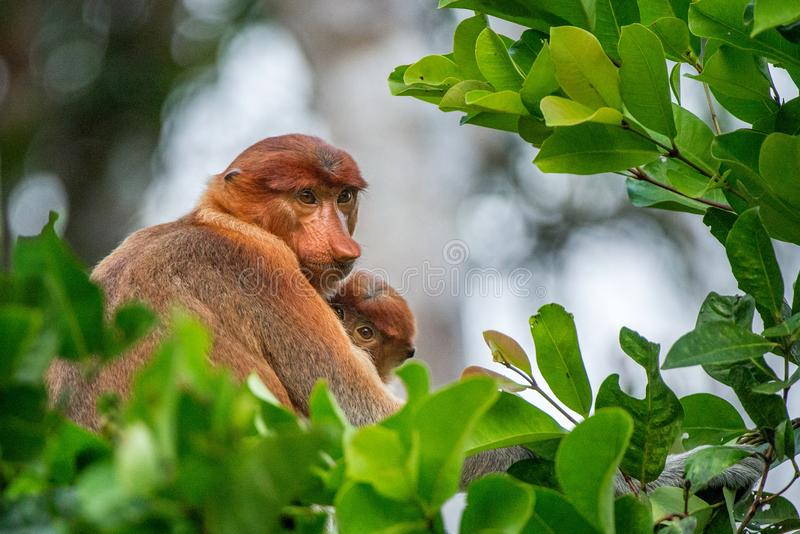 Proboscis monkey. Baby sucks its mother`s breast milk. Female  Nasalis larvatus with a cub on the tree in a natural habitat. Long-nosed monkey. Rainforest of royalty free stock photos