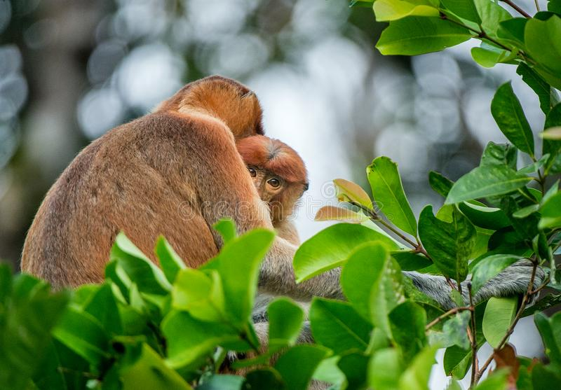 Proboscis monkey. Baby sucks its mother`s breast milk. Female  Nasalis larvatus with a cub on the tree in a natural habitat. Long-nosed monkey. Rainforest of royalty free stock photo