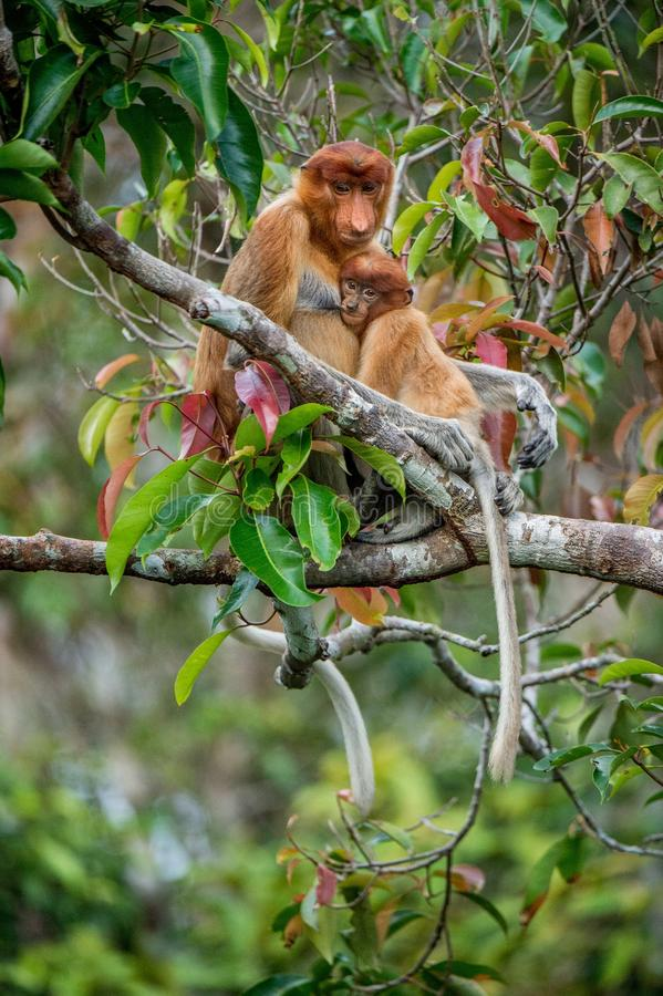 Proboscis monkey. Baby sucks its mother`s breast milk. Female  Nasalis larvatus with a cub on the tree in a natural habitat. Long-nosed monkey. Rainforest of stock photo