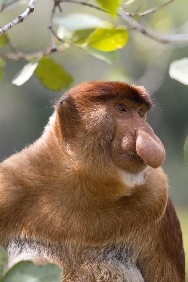Download Proboscis Monkey, Borneo Royalty Free Stock Photo - Image: 9702975