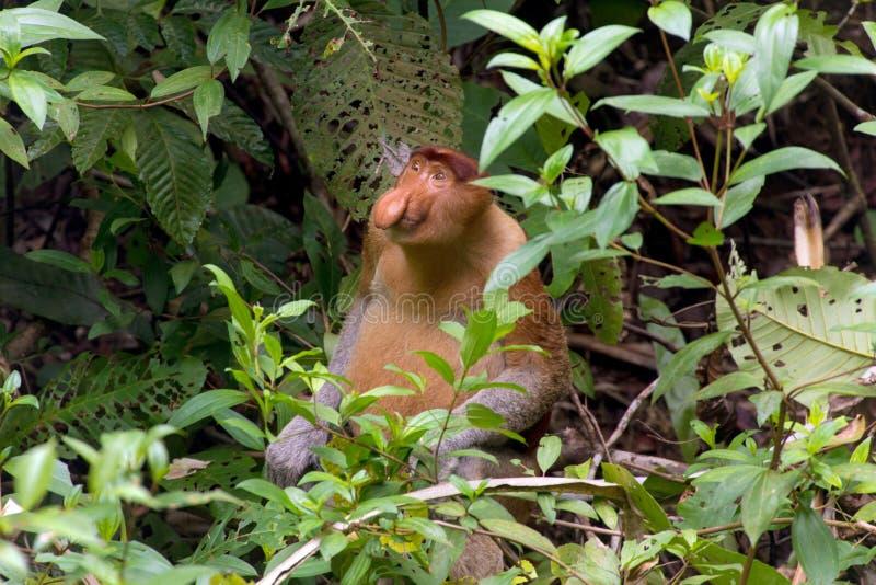 Proboscis monkey in borneo jungle royalty free stock photo