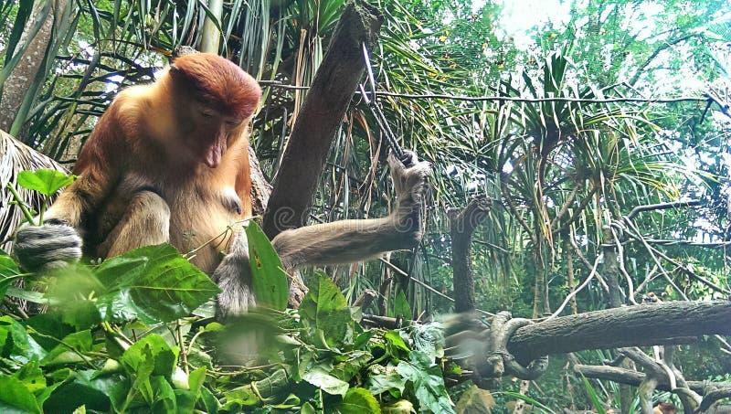 Download Proboscis monkey stock photo. Image of tropical, large - 37149624