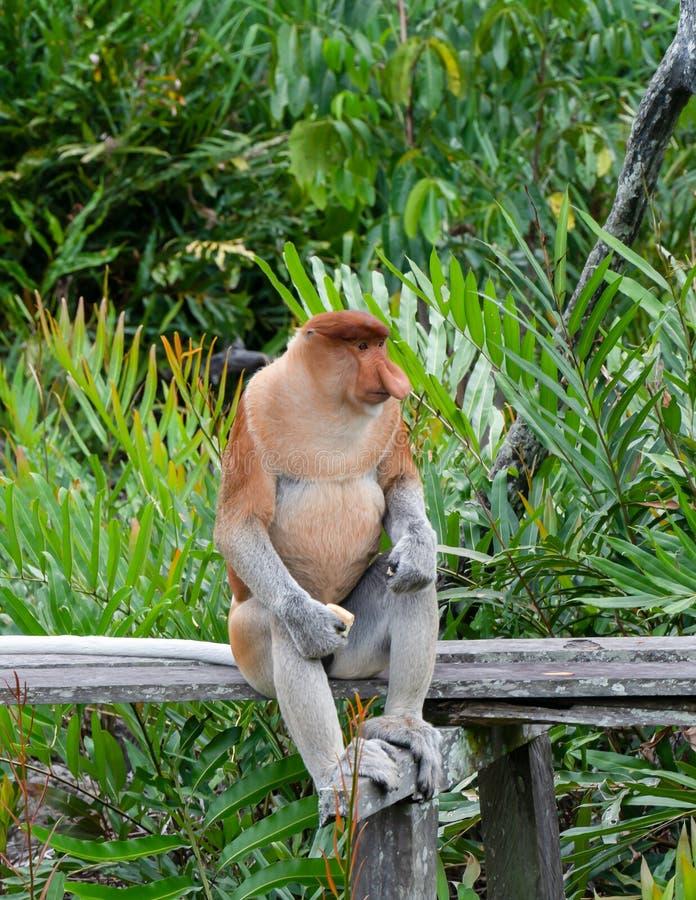 Proboscis Monkey eet voedsel in Borneo, Sandakan, Maleisië royalty-vrije stock afbeeldingen