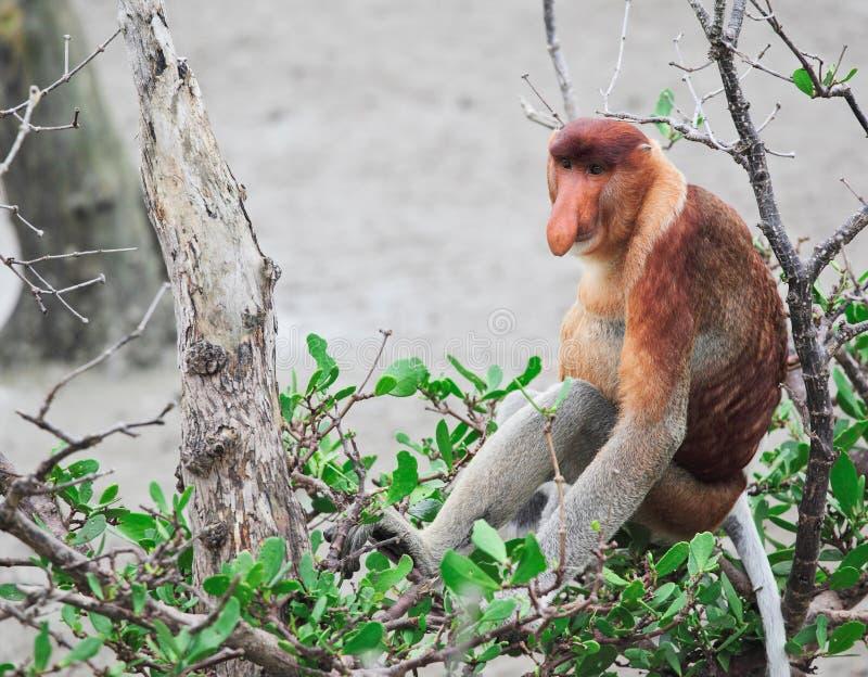 Proboscis Monkey Long Nosed Stock Photo