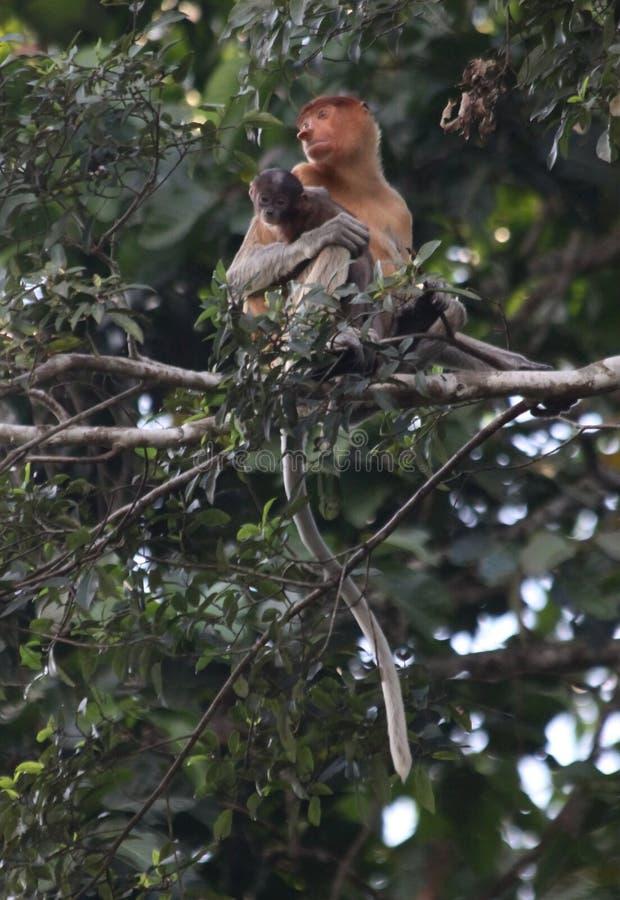 Proboscis Monkey Mother and Baby stock photo