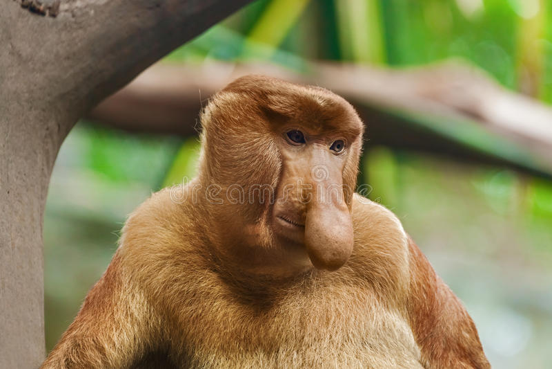 Proboscis monkey. In park - animal background royalty free stock photography