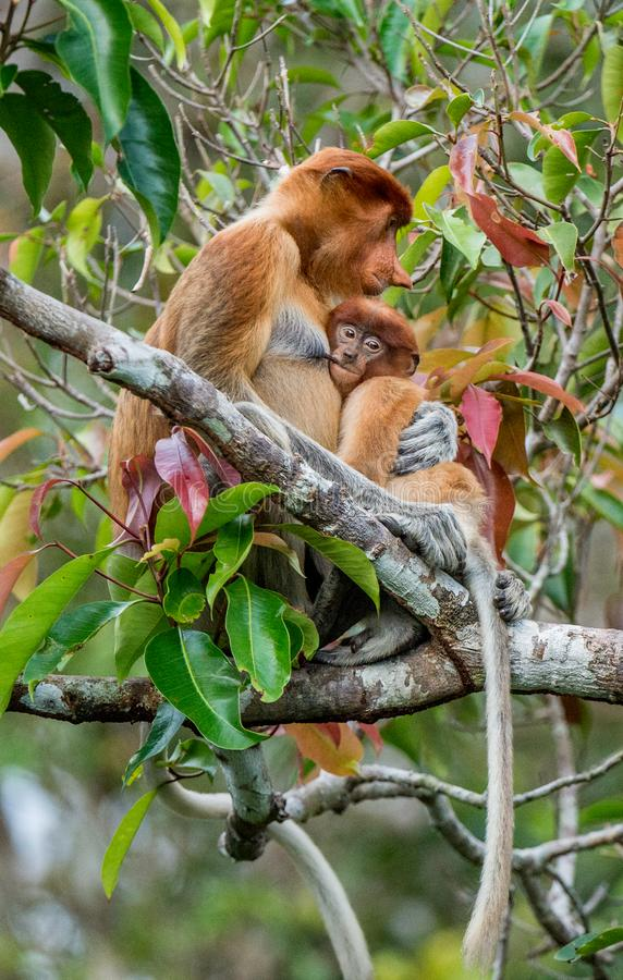 Proboscis monkey. Baby sucks its mother`s breast milk. Female  Nasalis larvatus with a cub on the tree in a natural habitat. Long-nosed monkey. Rainforest of royalty free stock images