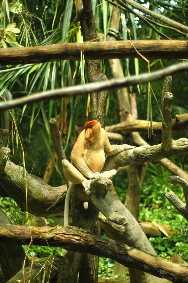 Download Proboscis monkey stock image. Image of cute, rainforest - 38928799