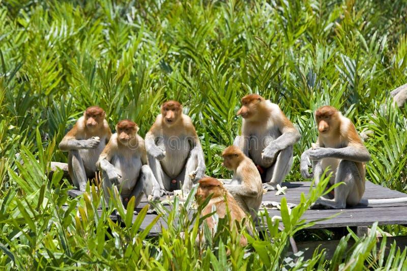 Proboscis monkies stock images