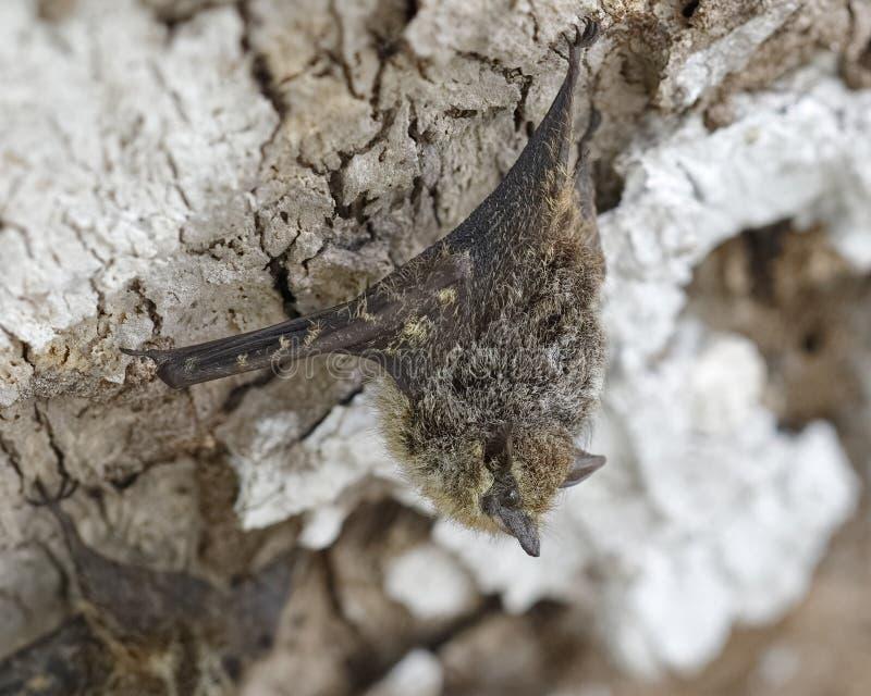 Proboscis-Schläger, der auf einem Baum-Stamm - Panama Roosting ist stockfotografie