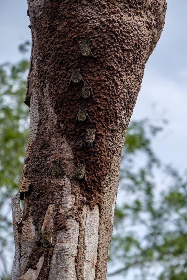 Proboscis schlägt Amazonas-Regenwald lizenzfreie stockfotografie