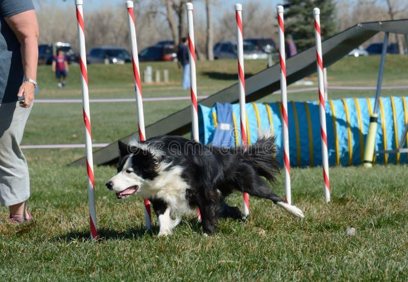 Procès d'agilité de chien de NADAC photo stock