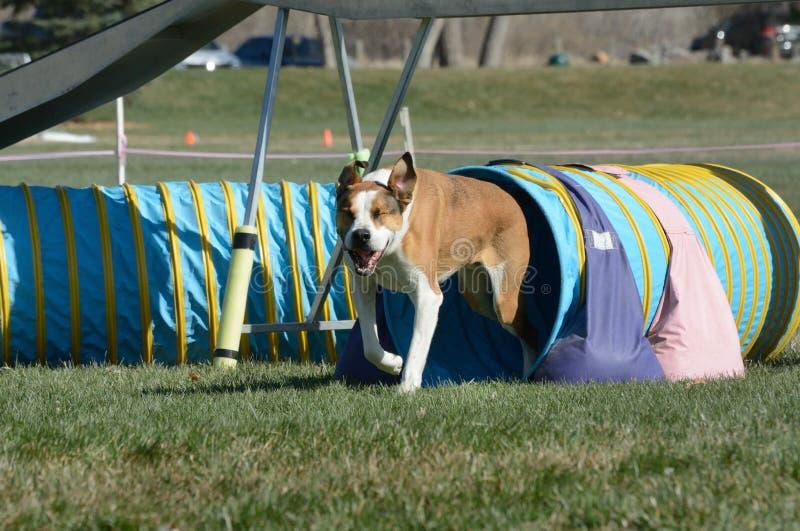 Procès d'agilité de chien de NADAC photos stock