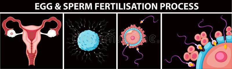 Procédé de fertilisation d'oeufs et de sperme illustration de vecteur