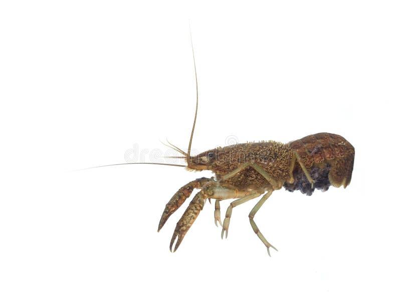 Procambarus crayfish on white background. A large female freshwater crayfish carrying babies on a white background. Tampa, Florida, USA stock photo