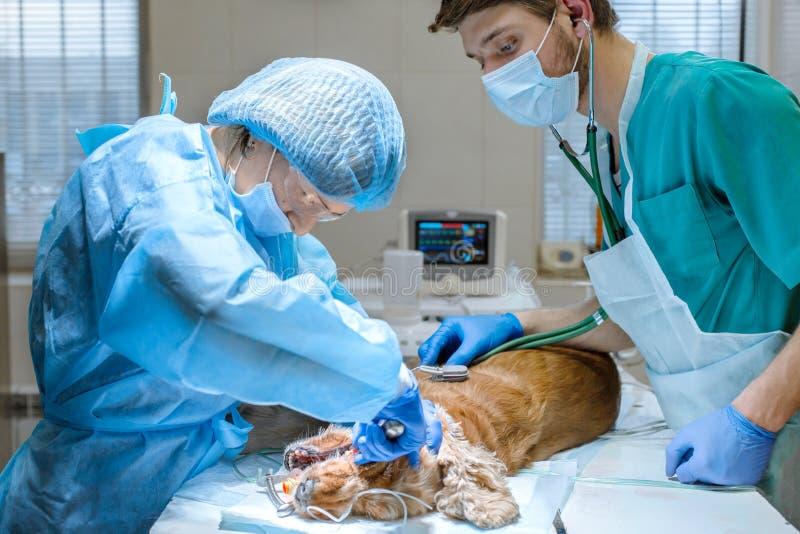Procedimento dos dentes profissionais que removem o cão em uma clínica veterinária C?o anestesiado na tabela cir?rgica Conceito d fotografia de stock royalty free