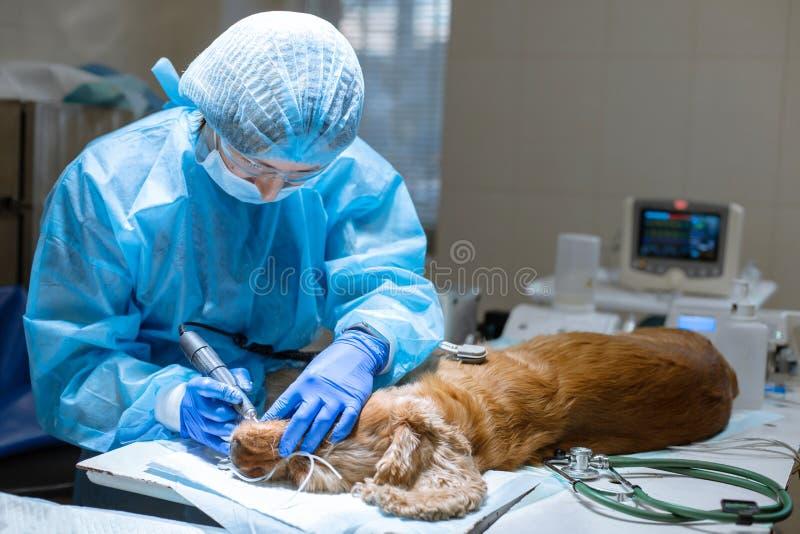 Procedimiento de los dientes profesionales que quitan el perro en una clínica veterinaria Perro anestesiado en la tabla quir?rgic foto de archivo
