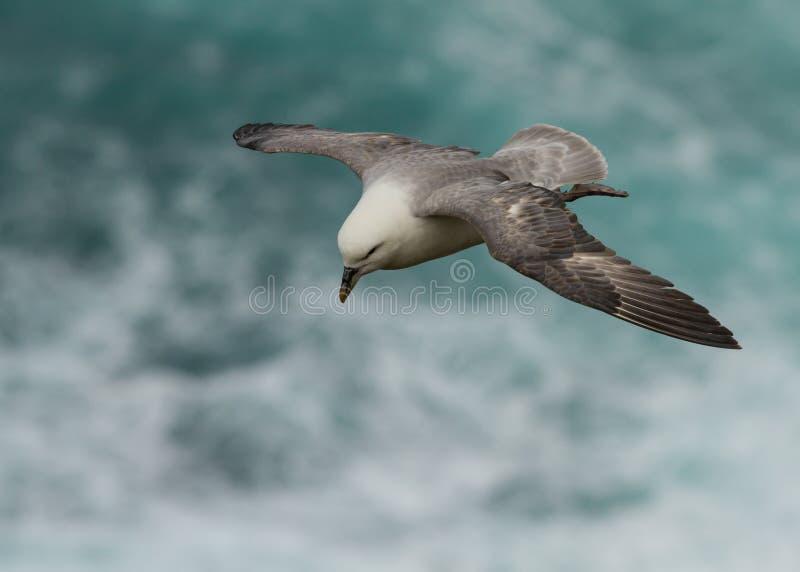 Procellaria nordica (glacialis del Fulmarus) immagine stock libera da diritti