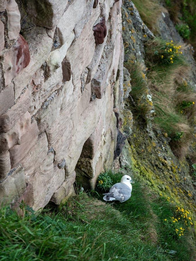 Procellaria nordica, glacialis del Fulmarus, Berwick del nord fotografia stock