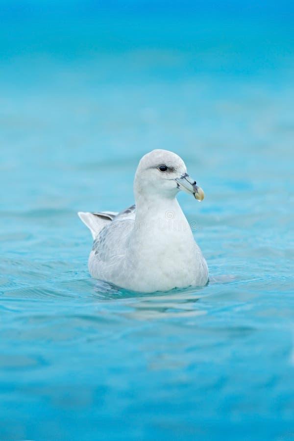 Procellaria nordica, glacialis del Fulmarus, uccello bianco nell'acqua blu, ghiaccio nei precedenti, le Svalbard, Norvegia fotografie stock