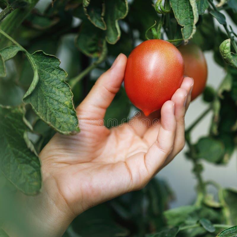 Proces om te oogsten: de landbouwer verzamelt rijpe die tomaten in de serre worden gekweekt stock afbeeldingen