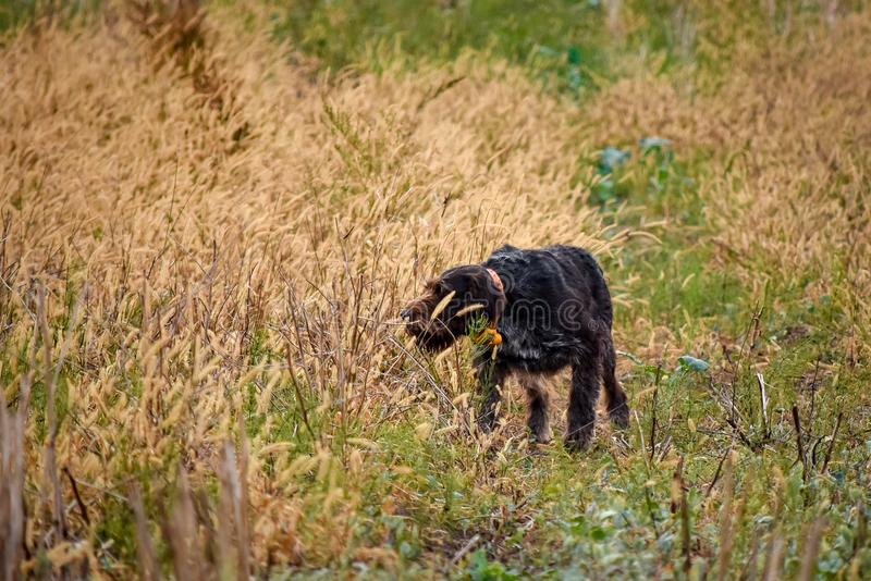 Proces polowanie podczas łowieckiego sezonu, proces przepiórki polowanie, drathaar, niemiecki wirehaired pointeru pies, fotografia stock