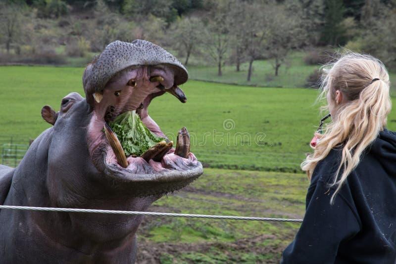 Proces van het voeden hippo in een dierentuin royalty-vrije stock afbeeldingen