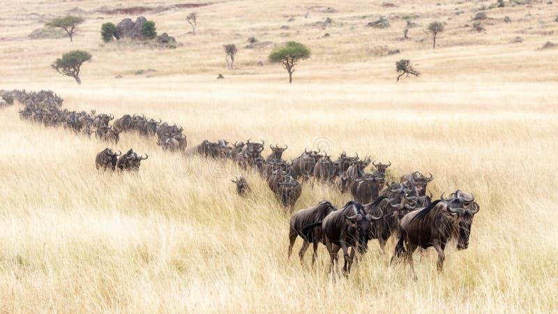 Procesión del ñu a través del Masai Mara foto de archivo libre de regalías