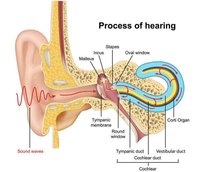 Proceso de audiencia, ejemplo de la anatomía 3d del oído en el fondo blanco libre illustration