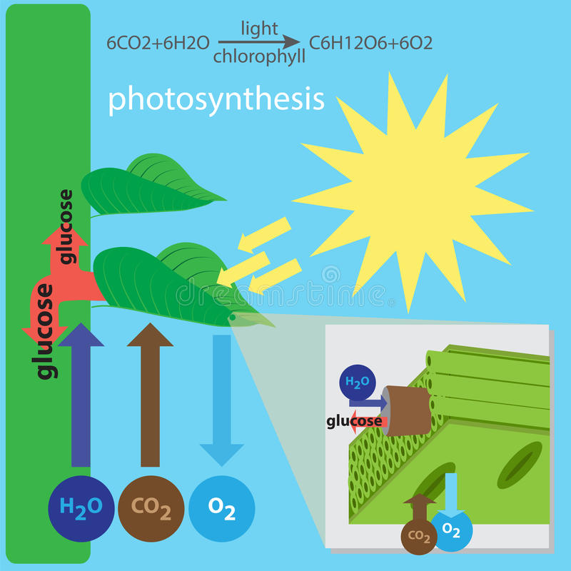 Proceso de la fotosíntesis libre illustration