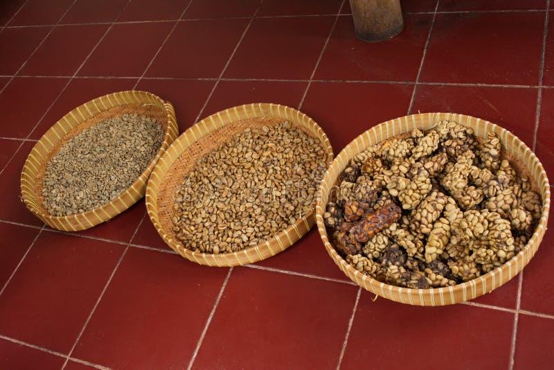 Proceso de la sequedad de granos de café en la producción del café del luwak imágenes de archivo libres de regalías