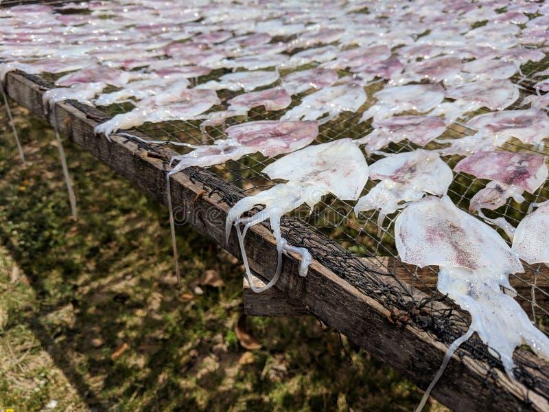 Proceso del calamar seco en el sur de Tailandia foto de archivo